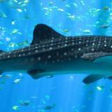 Tubarão Baleia Em Cancun