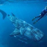 tubarao-baleia-passeios-em-cancun